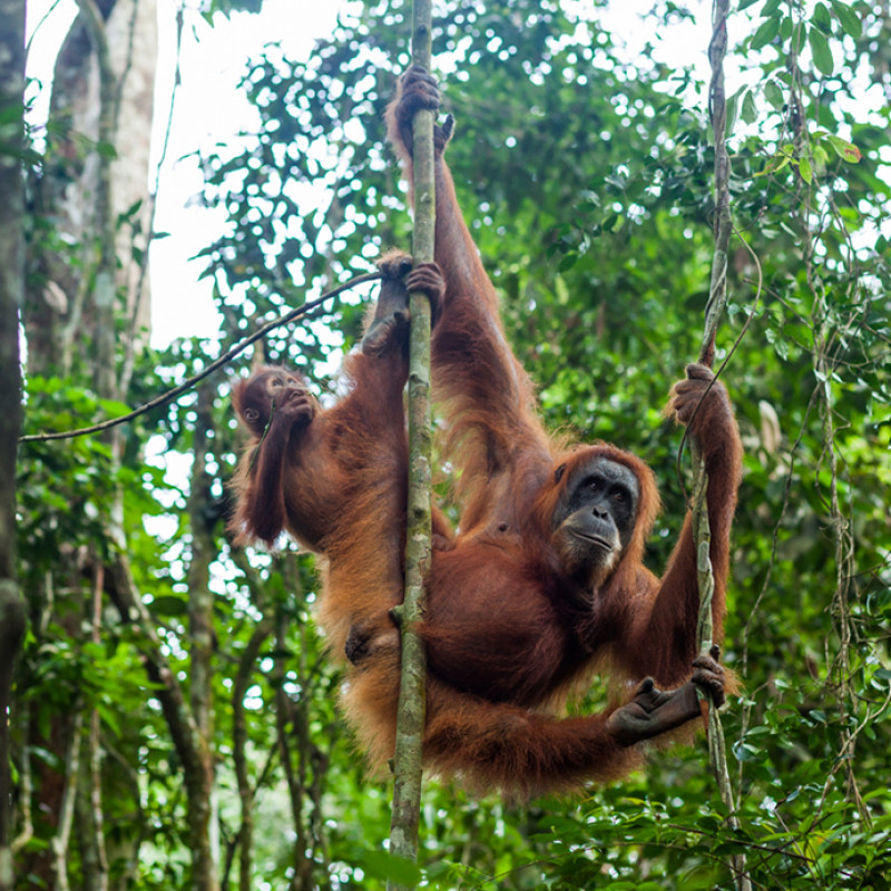 Sumatra overland tour: Orangutans and Tribes at a glance