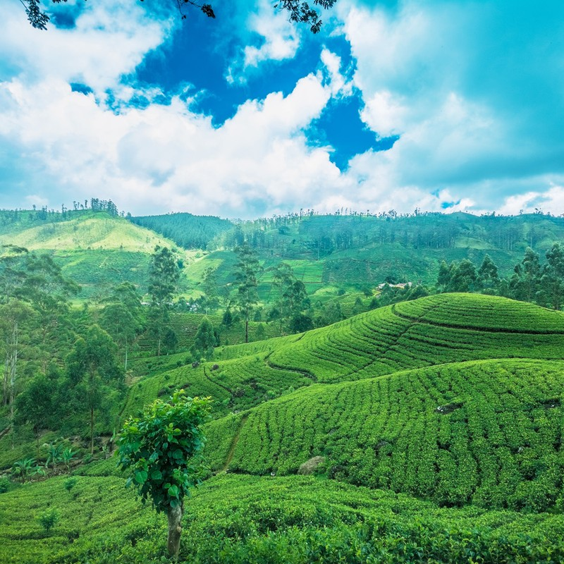 Sri Lanka Tea Plantations And Hill Country Tour Eastravel